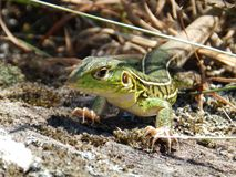 Stunning lizard foreground royalty free stock photos
