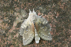 A stunning Lobster Moth Stauropus fagi, also known as lobster prominent perched on a wall. Stock Image
