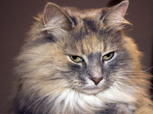 Stunning long haired cat Royalty Free Stock Photos