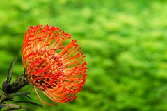 Stunning long lasting orange flowers of Leucospermum on green ba royalty free stock image