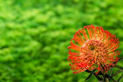 Stunning long lasting orange flowers of Leucospermum on green ba stock images