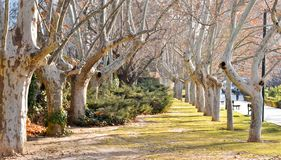 A stunning, long path lined with ancient live maple trees without leaves draped in spanish moss in the warm, early morning in royalty free stock images
