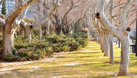 A stunning, long path lined with ancient live maple trees without leaves draped in spanish moss in the warm, early morning in royalty free stock photos