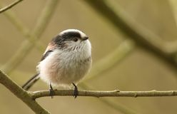 A pretty Long-tailed Tit Aegithalos caudatus perched on a branch of a tree. A stunning Long-tailed Tit Aegithalos caudatus perched on a branch of a tree Stock Images