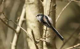 A Long-tailed Tit Aegithalos caudatus perched on a branch in a tree. A stunning Long-tailed Tit Aegithalos caudatus perched on a branch in a tree. It is Royalty Free Stock Image
