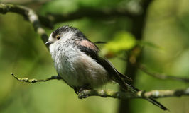 A stunning Long-tailed Tit Aegithalos caudatus perched in a tree. A adult Long-tailed Tit Aegithalos caudatus perched in a tree Stock Image