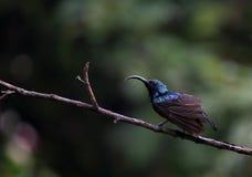 Stunning Lotens słońca ptaka inSrilanka Zdjęcie Royalty Free