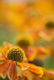Stunning macro close up of black eyed susan flower with shallow Royalty Free Stock Photography