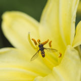 Stunning macro close up of common wasp insect on trumpet lily fl Stock Photo