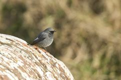 A beautiful male Black Redstart, Phoenicurus ochruros, perching on a fort wall in the UK. It is hunting for insects to eat. royalty free stock photography