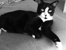 Stunning Male Black and White Cat Stock Images