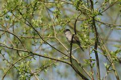 A stunning male Blackcap Sylvia atricapilla perching on the branch of a tree singing. A male Blackcap Sylvia atricapilla perching on the branch of a tree Royalty Free Stock Images