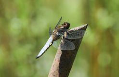 A male Broad-bodied Chaser Libellula depressa perched on a twig. Stock Photos