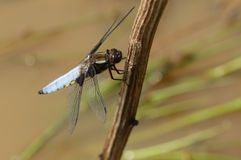 A stunning male Broad-bodied Chaser Libellula depressa perching on a plant stem in the middle of a pond. A male Broad-bodied Chaser Libellula depressa perching Royalty Free Stock Images