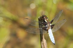 A stunning male Broad-bodied Chaser Libellula depressa perching on a plant stem in the middle of a pond. A male Broad-bodied Chaser Libellula depressa perching Royalty Free Stock Photography