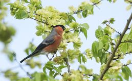 A stunning male Bullfinch Pyrrhula pyrrhula feeding on the seeds of Wych Elm Ulmus glabra. royalty free stock images