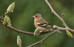 A stunning male Chaffinch Fringilla coelebs perched on a branch of a magnolia tree. A male Chaffinch Fringilla coelebs perched on a branch of a magnolia tree Stock Image