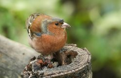 A stunning male Chaffinch Fringilla coelebs perched on a tree stump feeding. Royalty Free Stock Image
