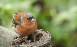 A stunning male Chaffinch Fringilla coelebs perched on a tree stump feeding. Royalty Free Stock Photos