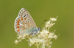 A stunning male Common Blue Butterfly Polyommatus icarus perched on a flower. Royalty Free Stock Photo