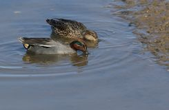 A stunning male and female Teal Anas crecca swimming and feeding in a coastal estuary. A pretty male and female Teal Anas crecca swimming and feeding in a Stock Image