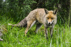 Stunning male fox in long lush green grass of Summer field Stock Photo
