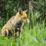 Stunning male fox in long lush green grass of Summer field Stock Image