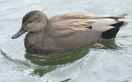 A spretty male Gadwall Anas strepera swimming on a lake. royalty free stock images