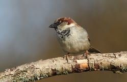 A stunning male House Sparrow Passer domesticus perched on a branch in a tree. A male House Sparrow Passer domesticus perched on a branch in a tree Stock Photos