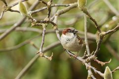 A stunning male House Sparrow Passer domesticus perched in between the buds of a magnolia tree. A male House Sparrow Passer domesticus perched in between the Royalty Free Stock Photography