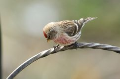 A stunning male Lesser Redpoll Carduelis cabaret perched on a metal bracket. A male Lesser Redpoll Carduelis cabaret perched on a metal bracket royalty free stock photos