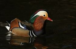 A stunning male Mandarin duck Aix galericulata swimming on a lake in the UK. stock images