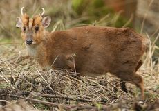 A stunning male Muntjac Deer Muntiacus reevesi feeding at the edge of a forest. A male Muntjac Deer Muntiacus reevesi feeding at the edge of a forest Royalty Free Stock Photo