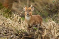 A stunning male Muntjac Deer Muntiacus reevesi feeding at the edge of a forest. Royalty Free Stock Photo