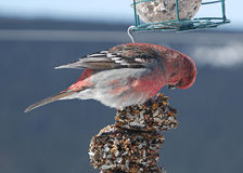 Stunning male pine grosbeak feeding Royalty Free Stock Images