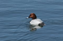 A stunning male Pochard duck Aythya ferina swimming in a lake. Royalty Free Stock Photography