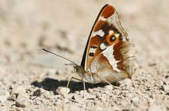 A stunning Male Purple Emperor Apatura iris perching on the ground eating minerals. A pretty Male Purple Emperor Apatura iris perching on the ground eating royalty free stock photos