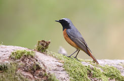 A stunning male Redstart, Phoenicurus phoenicurus, perched on a large Oak tree branch. Stock Photography