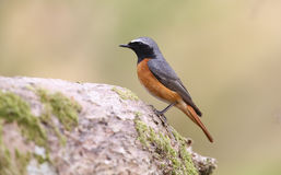 A stunning male Redstart, Phoenicurus phoenicurus, perched on a large Oak tree branch. Stock Photos