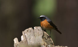 A stunning male Redstart, Phoenicurus phoenicurus, perched on an old tree stump. Stock Photography