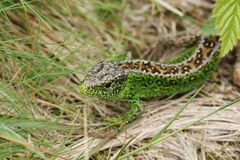 A stunning male Sand Lizard Lacerta Agilis hunting in the undergrowth for food. A beautiful male Sand Lizard Lacerta Agilis hunting in the undergrowth for food Royalty Free Stock Photos