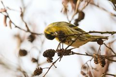 A stunning male Siskin Carduelis spinus perched in an Alder tree eating the seed out of the cones. A male Siskin Carduelis spinus perched in an Alder tree Stock Image