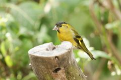 A stunning male Siskin Carduelis spinus perched on a tree stump feeding. A male Siskin Carduelis spinus perched on a tree stump feeding Royalty Free Stock Photos