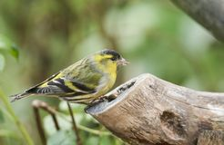 A stunning male Siskin Carduelis spinus perched on a tree stump feeding. A beautiful male Siskin Carduelis spinus perched on a tree stump feeding Royalty Free Stock Photos