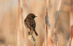 A stunning male Stonechat Saxicola torquata perched on a bulrush in a pond. A male Stonechat Saxicola torquata perched on a bulrush in a pond Royalty Free Stock Image