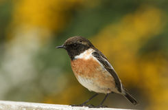 A stunning male Stonechat Saxicola torquata perched on a fence. Stock Images