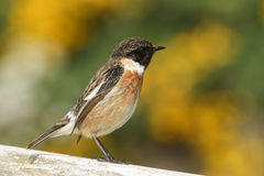 A stunning male Stonechat Saxicola torquata perched on a fence looking around for insects to catch. Stock Photography
