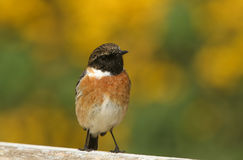 A stunning male Stonechat Saxicola torquata perched on a fence looking around for insects to catch. Stock Photo