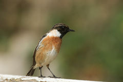 A stunning male Stonechat Saxicola torquata perched on a fence looking around for insects to catch and eat. Royalty Free Stock Image