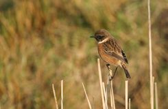 A stunning male Stonechat Saxicola torquata perched on a reed at the side of a stream. A prettymale Stonechat Saxicola torquata perched on a reed at the side of Royalty Free Stock Photo